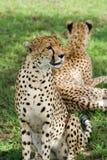 пары гепардов Стоковые Изображения RF