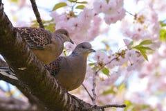 Пары голубей черепахи с цветками yaesakura Стоковые Изображения RF