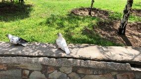 Пары голубя делая любовь в парке на солнечный день Романтичные пары птицы Выхольте избежание видеоматериал