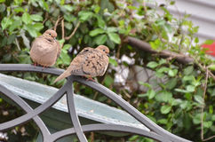 Пары голубя утра Стоковые Фото