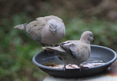 Пары голубя черепахи Стоковое Фото