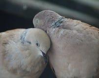 Пары голубя черепахи Стоковые Изображения