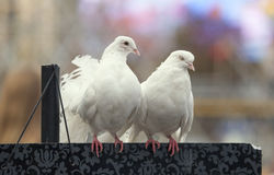 Пары голубя. Стоковое Изображение