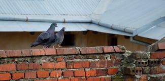 Пары голубя Стоковое Изображение RF