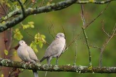Пары голубя Стоковые Фотографии RF