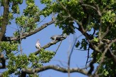 Пары голубя Стоковая Фотография RF