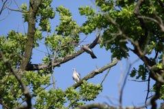 Пары голубя Стоковые Фото