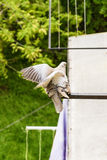 Пары голубя Стоковое фото RF