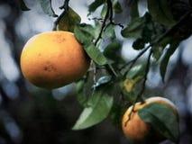 Пары грейпфрутов Стоковые Изображения RF
