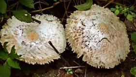 Пары гриба Стоковое фото RF