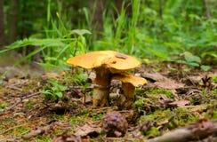 Пары грибов Стоковая Фотография