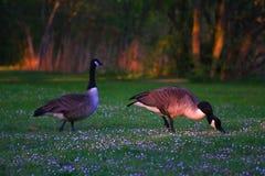 Пары гусыни щипцев в траве на весне стоковые фотографии rf