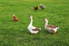 Пары гусынь, идя на зеленую траву фермы, с курицами в backg Стоковая Фотография RF