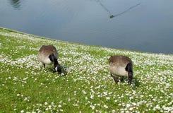 Пары гусынь из озера Стоковые Фото