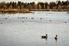 Пары гусынь Канады на озере стоковые фотографии rf