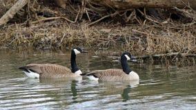 Пары гусынь Канады плавая на неподвижной воде Стоковое Изображение