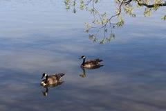 Пары гусынь Канады в озере Wascana Стоковое Изображение RF
