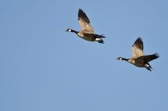 Пары гусынь Канады летая в голубое небо Стоковое фото RF