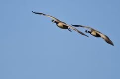 Пары гусынь Канады летая в голубое небо Стоковые Фото