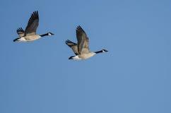 Пары гусынь Канады летая в голубое небо Стоковые Фотографии RF