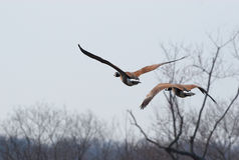 пары гусынь летания Стоковая Фотография RF