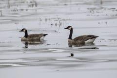 Пары гусынь на замороженном пруде Стоковое Изображение RF