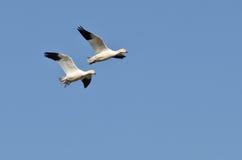 Пары гусынь снега летая в голубое небо Стоковые Фотографии RF