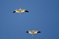 Пары гусынь снега летая в голубое небо Стоковое фото RF