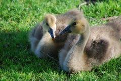 Пары гусят младенца в зеленой траве Стоковое Фото