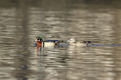 Пары деревянных уток в пруде Стоковая Фотография