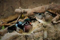 Пары деревянных уток на зоопарке Вашингтона Стоковое фото RF