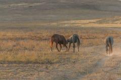 Пары диких лошадей воюя в пустыне Стоковые Фотографии RF