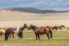 Пары диких лошадей в лете в Юте Стоковая Фотография RF