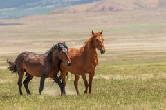 Пары диких лошадей в лете Стоковое фото RF