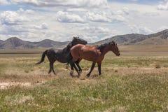 Пары диких лошадей в пустыне в лете Стоковые Фотографии RF