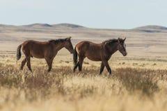 Пары диких лошадей в пустыне Стоковое фото RF