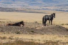 Пары диких лошадей в Юте Стоковые Фото