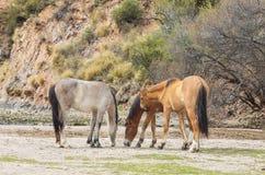Пары диких лошадей пася в пустыне Стоковое Изображение