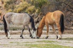 Пары диких лошадей пася Стоковая Фотография