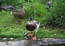 Пары дикой утки Стоковая Фотография RF