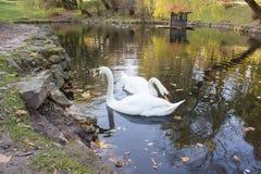 Пары лебедей на воде Стоковая Фотография