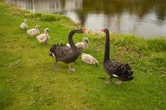 Пары лебедей с их цыпленоками стоковое изображение