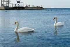 Пары лебедей Стоковое Изображение