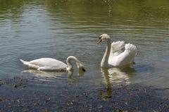 Пары лебедей Стоковая Фотография RF