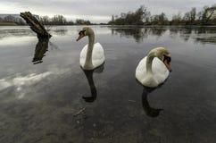 Пары лебедей стоковые изображения