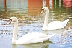 Пары лебедя в озере. стоковая фотография