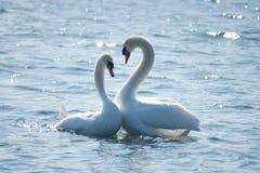 Пары лебедя в ухаживании Стоковое Изображение RF
