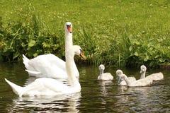 Пары лебедя с 4 малыми молодыми лебедями Стоковые Фотографии RF