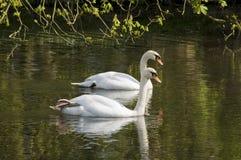 Пары лебедя Стоковая Фотография