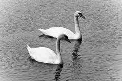 Пары лебедя стоковое изображение
